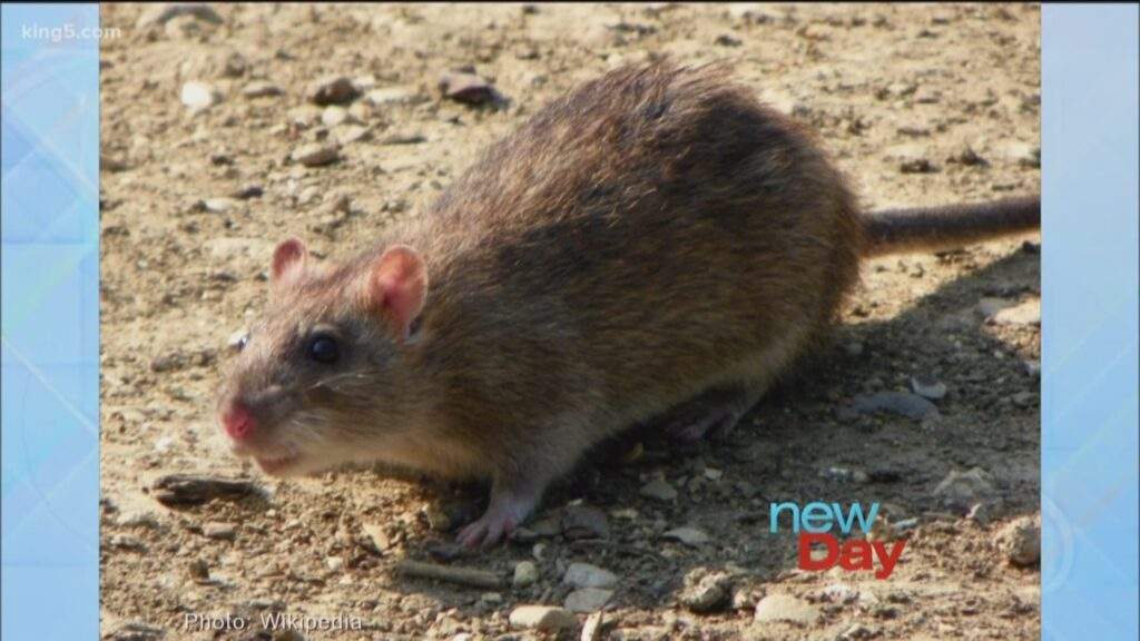 King5 New Day Show on Rat Control