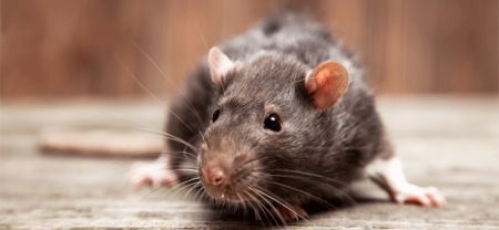 Rodent & Rat Control