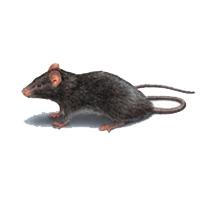 Rat & Rodent Control Lacey WA
