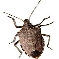 Stick bug Control Lacey WA