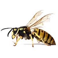 Wasp & Bee Control Lacey WA